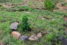 Ficus_and_other_trees_planted